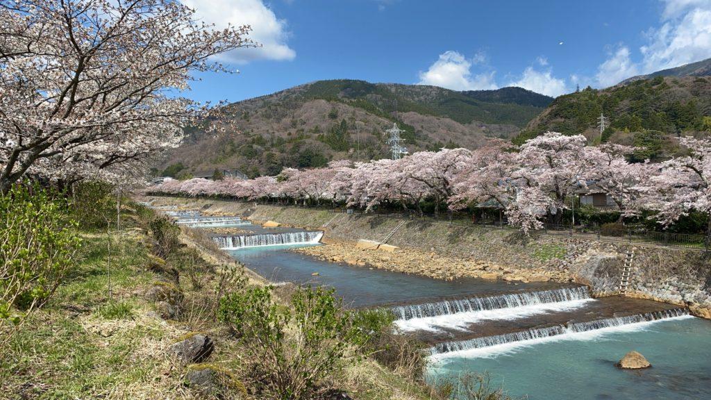 箱根宮城野の春の桜